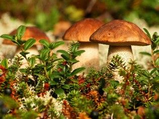 bieten; Pilze sammeln - Borówka